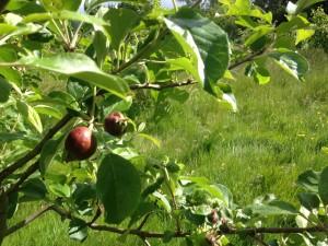 Woodcroft Orchard